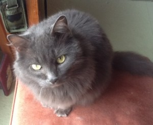 beautiful gray cat deserves pet care plan