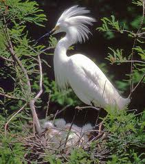 Migratory bird Act snowy egret